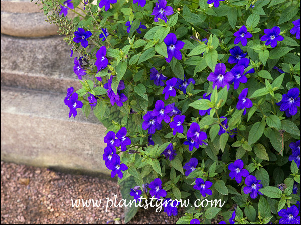 This demonstrates the cascading habit of the plant.  Nice blue to violet blue flowers.