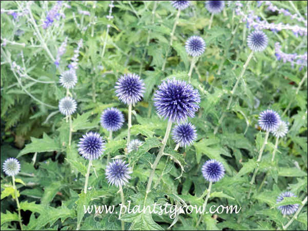 Veitchs Globe Thistle growing with Russian Sage  (Perovskia  atriplicifolia)