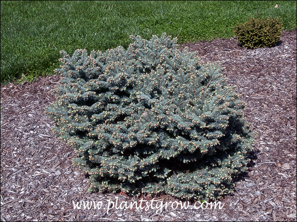 The plant will be more of a powder blue than this silvery blue color. I have seen them both ways.  Seems to depend on the growing condition and time of year.