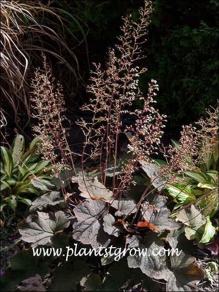 Heuchera Mocha growing with Hosta Cherry Berry. At this time of the year, enough sun is peaking through to give the plant it's Mocha color.