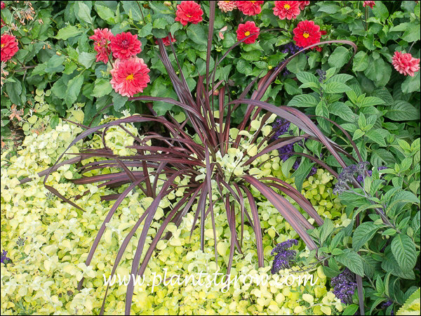 Cordyline Festival grass growing in an container with Lime Light Licorice Plant, blue Marine Heliotroph and Border Charm Dahlia.