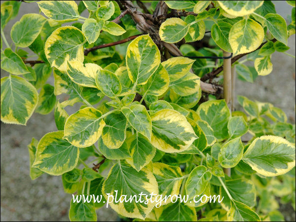 A vine with a nice gold variegation.