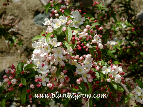 Nice contrast between the white flowers and reddish buds.