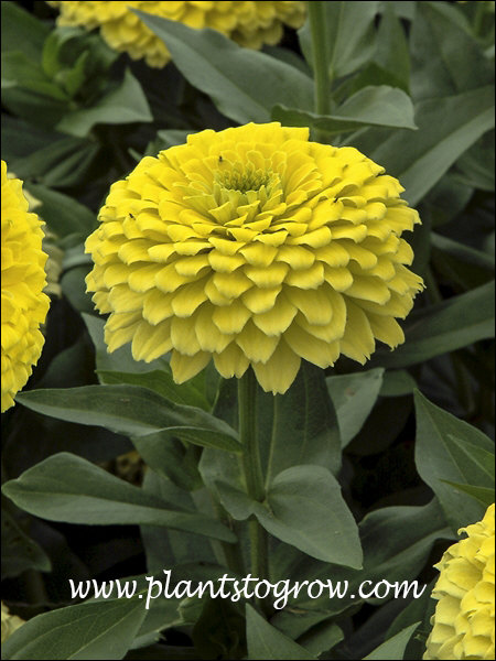 Zinnia Zesty Lemon