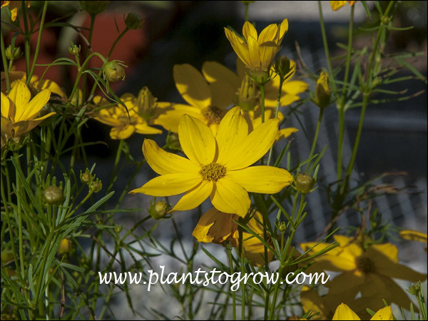large golden yellow flowers
