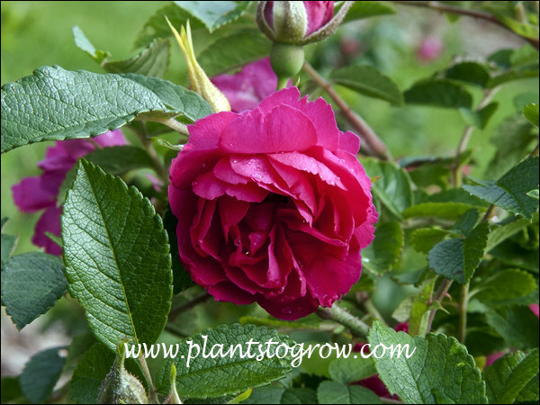 F J Grootendorst (Rosa rugosa) is a hardy, heirloom, Rugosa rose that is extremely thorny with red carnation-like flowers.