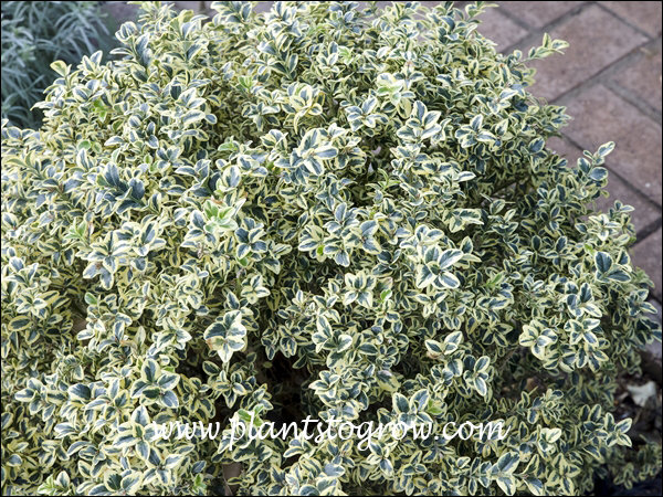 This was a very colorful variegated Boxwood.