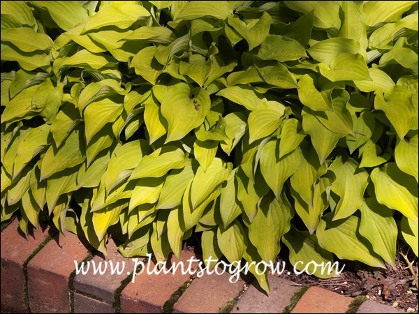 Hosta Ground Sulfur  is a fast growing dwarf Hosta with pointed golden yellow leaves.