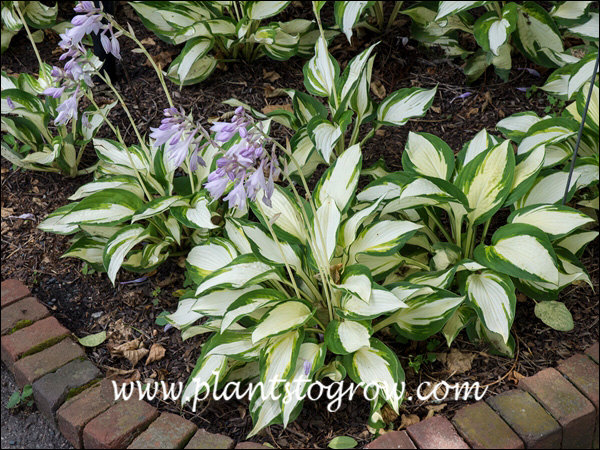 Lots of white variegation on these plants.