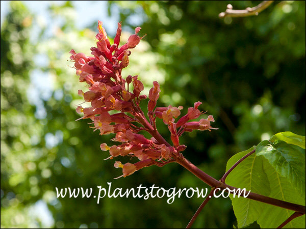 panicle of red florets (May 31)
