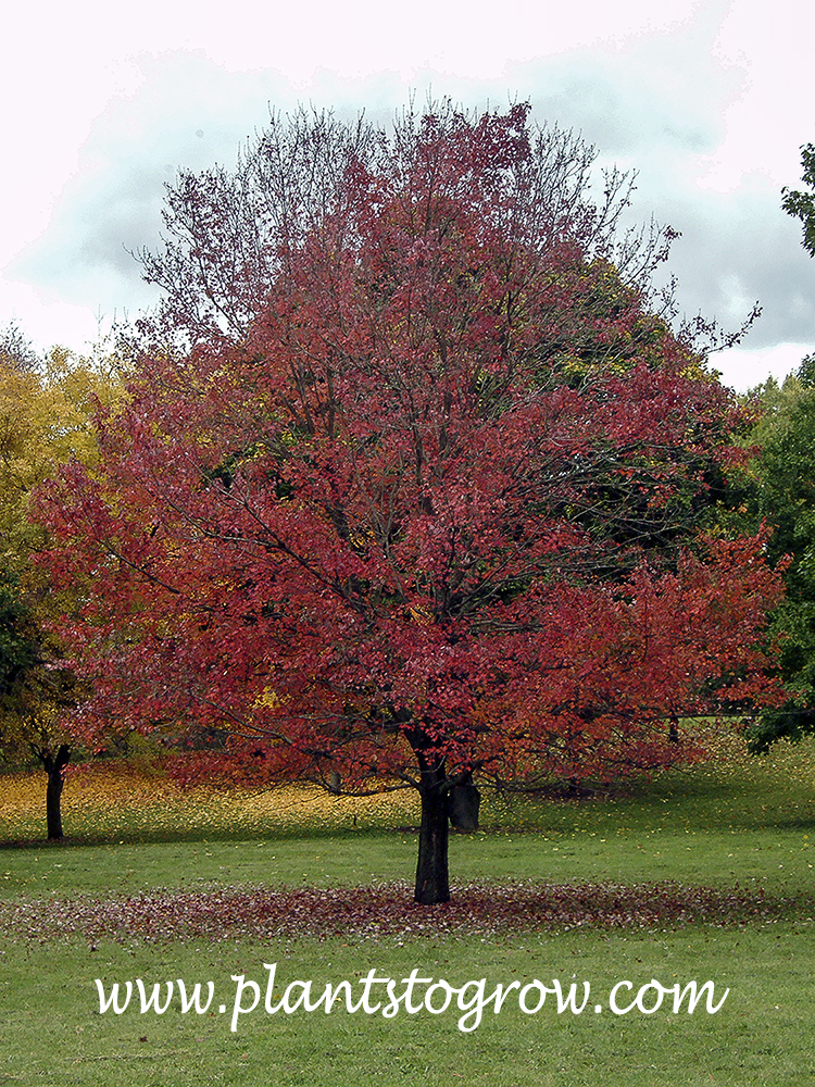 Autumn Flame Red Maple (Acer rubrum) The picture was taken past its prime fall color which is a deep red color.  (Oct. 22)
