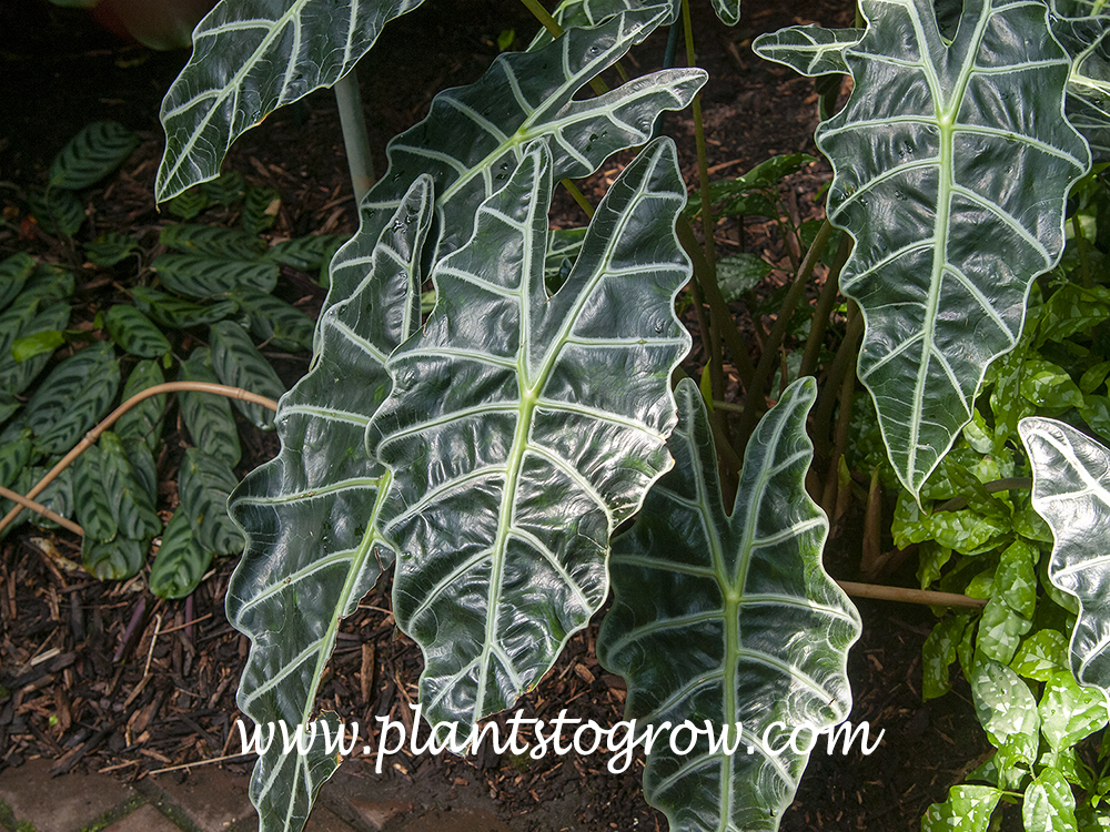 Amazonian Elephant Ear (Alocasia amazonica) The dark green glossy leaves with greenish veins and edges are the  best features of this plant.