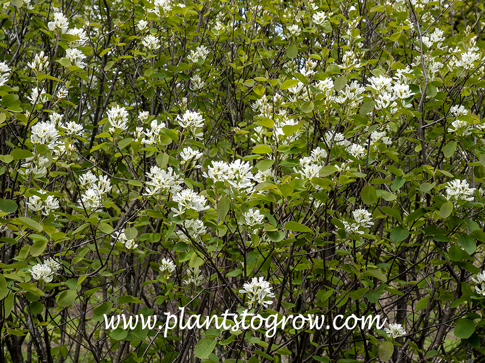 Dwarf Garden Serviceberry(Amelanchier ovalis pumila) A multistemmed compact garden shrub with white flowers in spring followed by edible fruit.