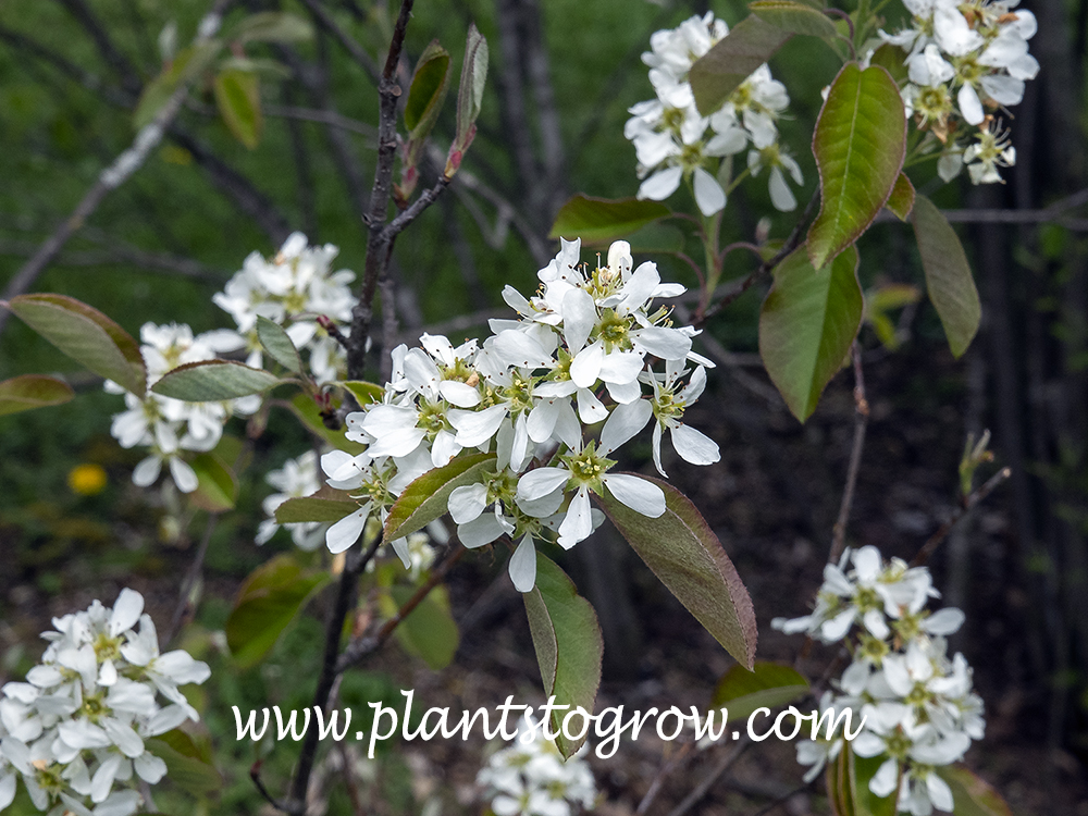Dwarf Serviceberry (Amelanchier spicata)  (April 24)