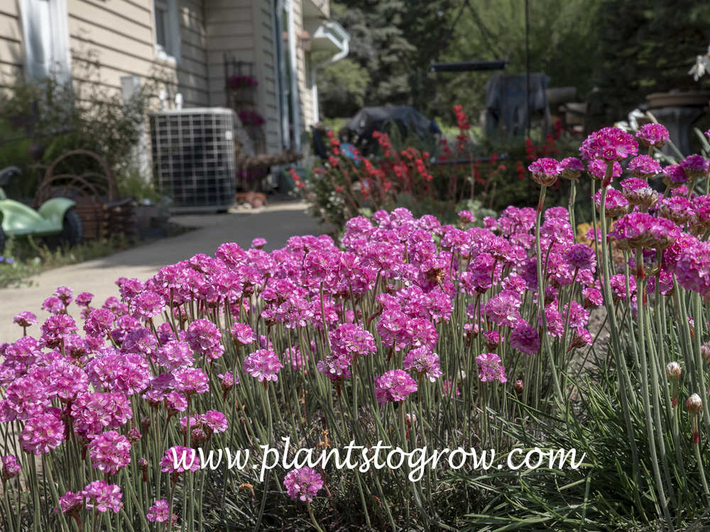 Red Leaved Thrift (Armeria maritima Rubrifolia)