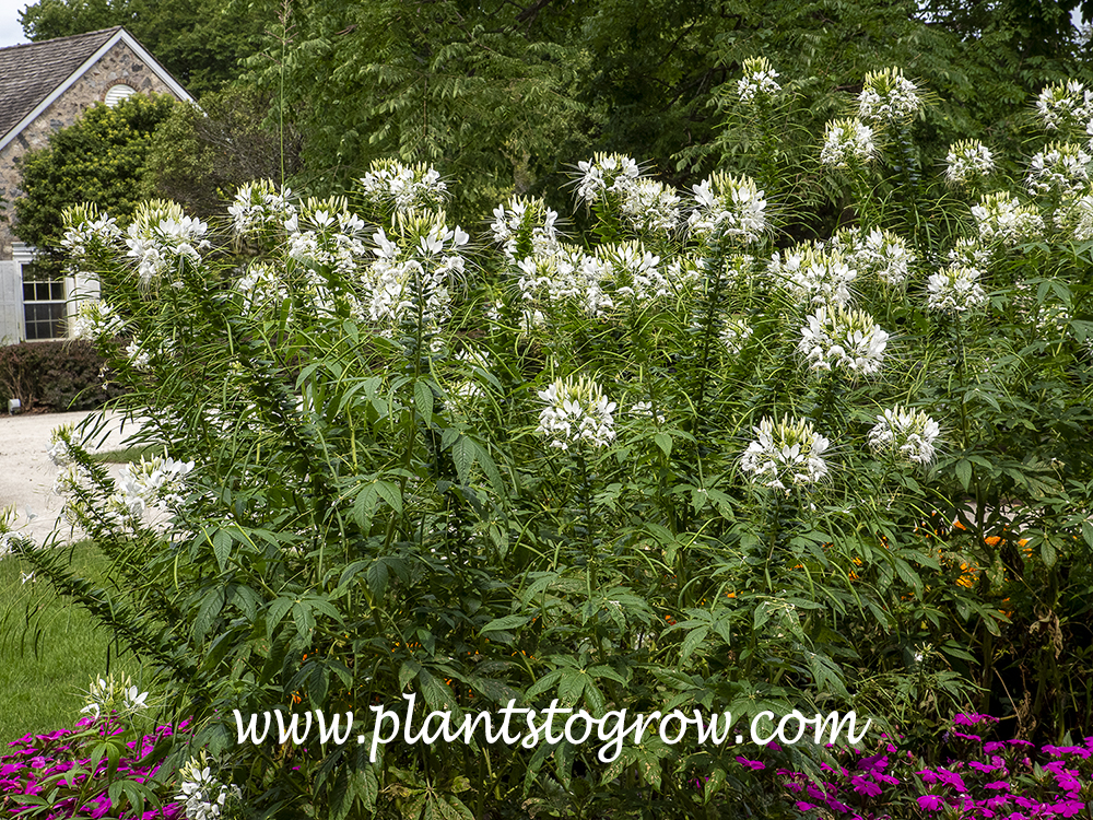 White Queen Spider Flower (Cleome hassleriana)