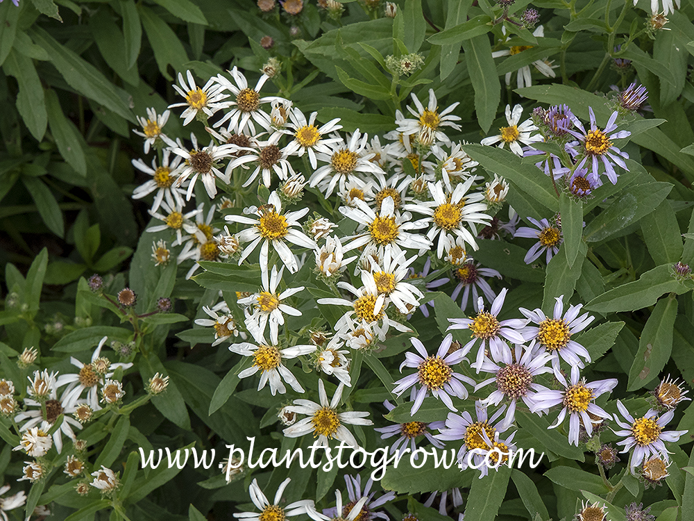White Artic Aster (Eurybia siberica alba) May 11)