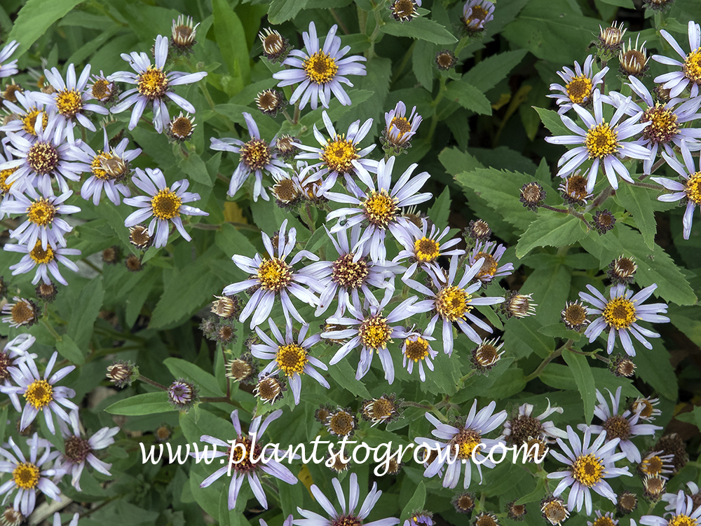 Arctic Aster (Eurybia sibirica) (May 11)