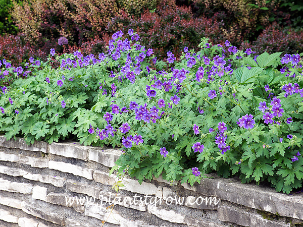 Showy Geranium (Geranium x magnificum)  This is a garden I created for a client.  I maintained the garden for over 20 years and this spot was one of my first planted areas.