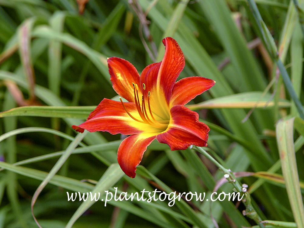 Red Flame Daylily 38 inches tall 5.25,  flame red blend with green and gold throat  late diploid dormant Woods, 1967