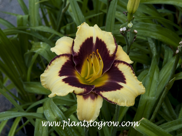 Daylily El Deperado (Hemerocallis) 28 inches 5 inch flowers mustard yellow with wine purple eyezone above green throat  tetraploid, dormant Stamile, 1991