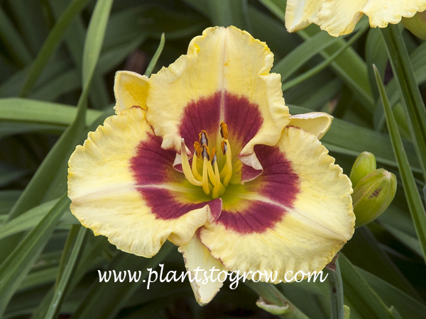 Monterrey Jack Daylily height 24 in. dormant, Tetraploid,  Early season cream yellow red eyezone, green throat Trimmer, 1996