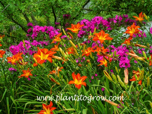 Daylily August Flame
