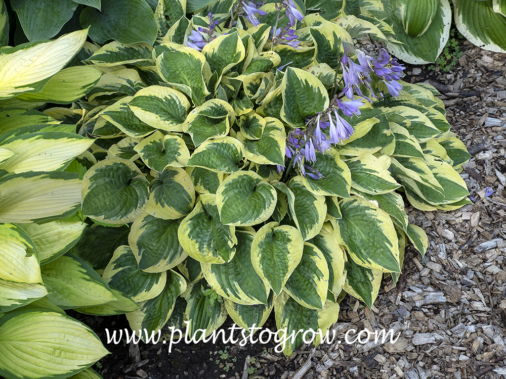 Bedazzled Hosta (July 2)