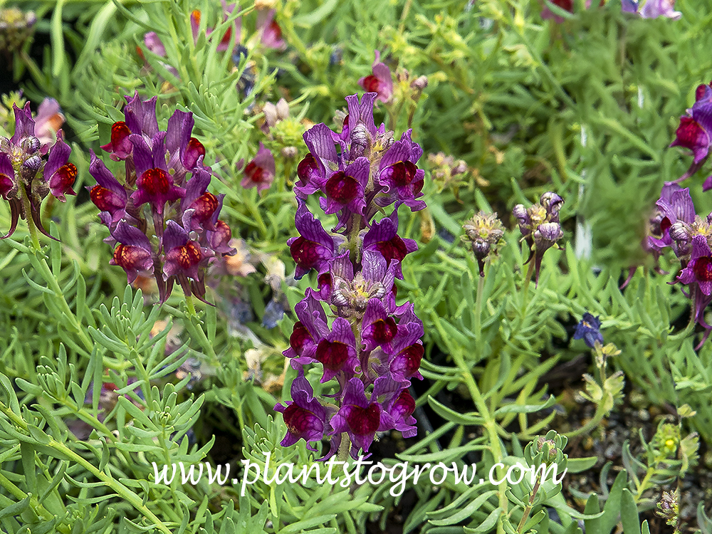 Alpina Toadflax (Linaria alpina)  A low growing plant with purple A Snapdragon like flowers. A good plant for rock gardens. Short lived perennial or biennial.