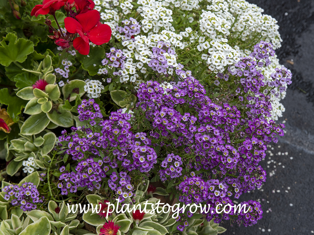 Clear Crystal Alyssum Purple Shades