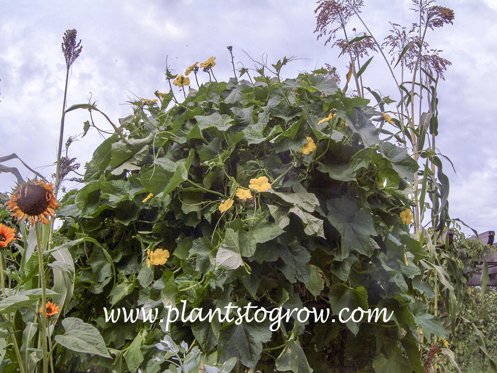 Sponge Gourd (Luffa aegyptiaca) These plants are growing on a very sturdy structure.