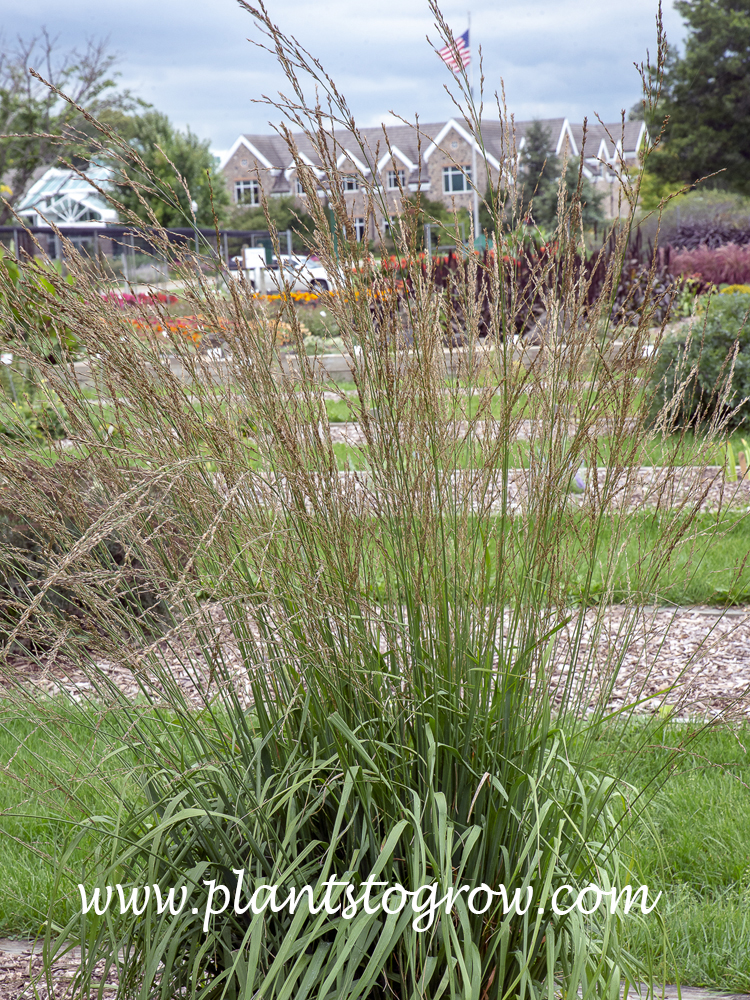 Cordoba Purple Moor Grass (Molinia)