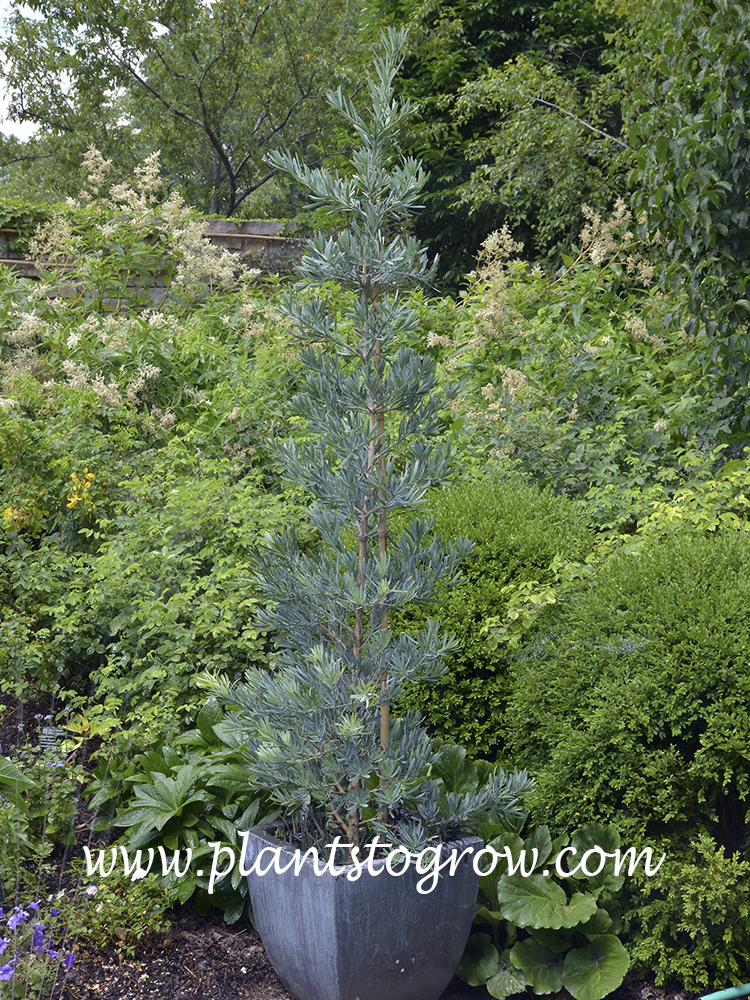 Icee Blue Yellowwood (Podocarpus)