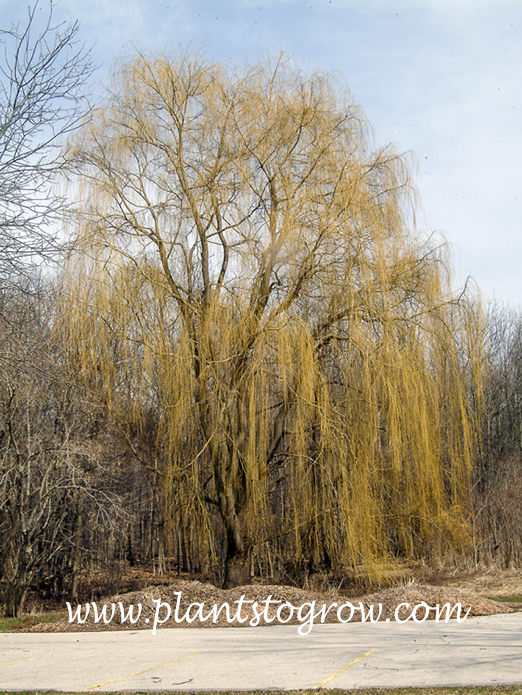 Weeping Willow (Salix alba) The golden pendulous branches are most evident in the spring and winter.