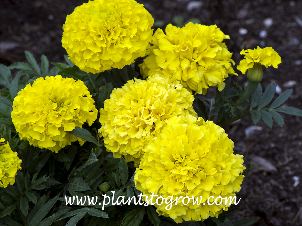 Tasisia Yellow Marigold  (Tagetes erecta) A large flowering Mexican type.