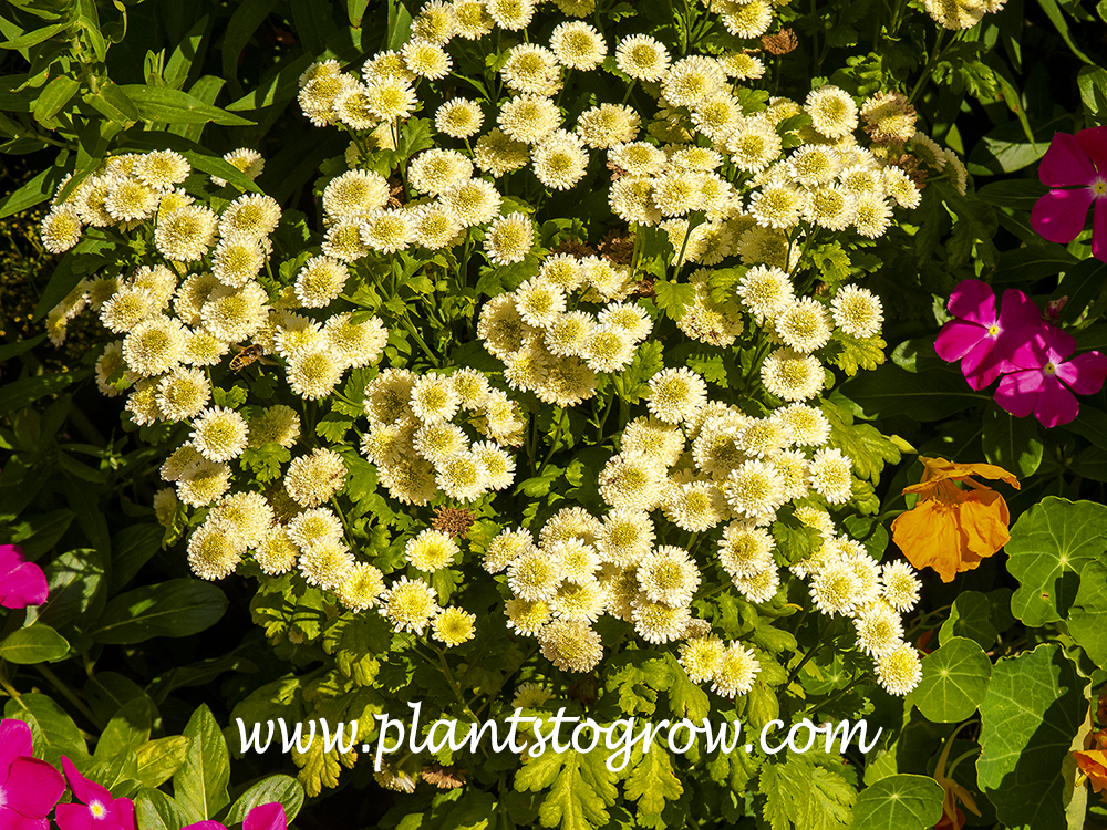 Yellow Magic Feverfew (Tanacetum)