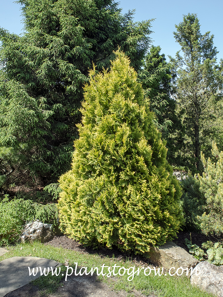 Europe Gold Arborvitae (Thuja occidentalis)  Not a lot listed about this plant and most is recycled data. Listed as 8-12 feet tall.  This plant  is reaching this size.