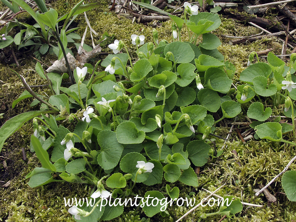 White Wood Violet (Viola soronia albiflora) Happily growing in a moss covered shaped area of a woods.