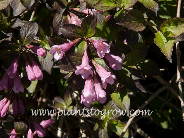 Foliss Purpurea Weigela (Weigela florida) Showing the pink funnel shaped flowers typical of Weigela  (May 10)