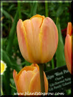 Tulip Jan Ohms