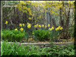 The Daffodils are inter planted with some large Green Hosta.