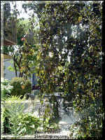 The weeping, pendulant habit of this plant.